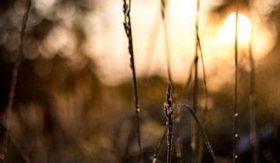 Gras im Gegenlicht