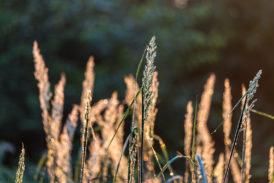 Gras mit Tau