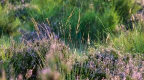 Besenheide in der Wahner Heide